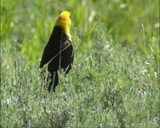 Yellowheaded blackbird on sagebrus, Bird call. Stock Footage