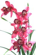 house cymbidie cymbidium orchid bluehen cut out - stock photo