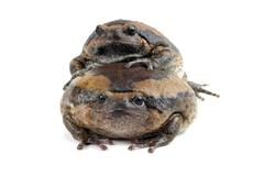 Kaloula pulchra chubby frog asian painted lurch Stock Photos