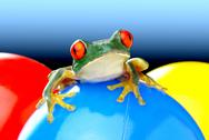 Stock Photo of leaf agalychnis callidryas red eyed treefrog