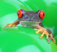 leaf agalychnis callidryas red eyed treefrog - stock photo