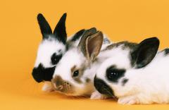 Cuniculus domestica domestic rabbit animal young Stock Photos
