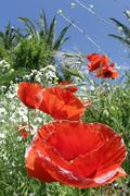 Flower papaver rhoeas field poppy corn blooming Stock Photos