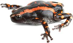 South african snake neck frog amphibian Stock Photos