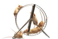house mouse golden 5 balance animal animals - stock photo