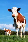 cow and fresh grass - stock photo