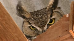 Great Horned Owl Close Up Stock Footage