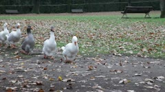 Single row of ducks - stock footage