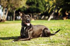 mixed pitbull dog portrait at the park - stock photo