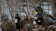 Mallards In Reeds Stock Footage