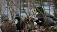 Mallards In Reeds Stock Footage
