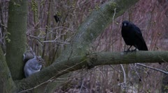 Squirrel & Crow In Tree Stock Footage