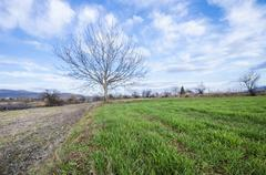 single tree with no leaves on green grass against blue sky with clouds horizo - stock photo