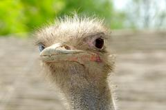 portrait of curious ostrich head closeup - stock photo