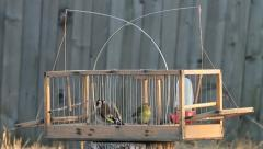 Goldfinch & Siskin in cage, Carduelis carduelis & Carduelis spinus Stock Footage