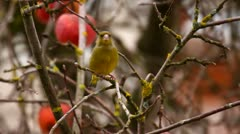 Greenfinch on tree in winter Stock Footage