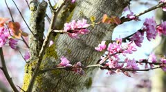 Bee and Judas tree Stock Footage