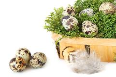 Quail eggs Stock Photos