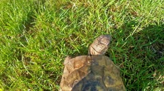 Tortoise walking over green grass, from above Stock Footage