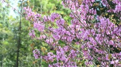 Judas tree in a forest - stock footage