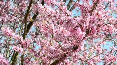 Judas tree Stock Footage