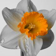 Stock Photo of narcissus flower