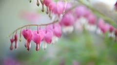 Bleeding heart flowers Stock Footage