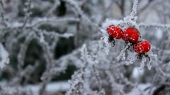 Rose hip in winter, close-up, frost Stock Footage