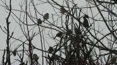 House Sparrows in tree, Passer domesticus Stock Footage