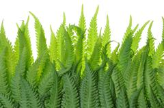 Stock Photo of Fern leaves