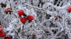 Rosehip with frost in winter Stock Footage