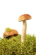 King boletus edulis Stock Photos