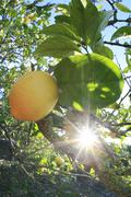 tree food summer fruit citrus limon lemon useful - stock photo