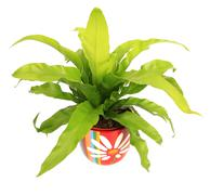 House asplenium nidus birds nest fern plant Stock Photos