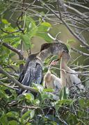 Male anhinga feeding chicks Stock Photos