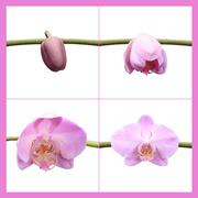 Moth orchid composing composings start orchids Stock Photos