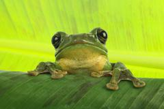 Tree dennysi blanfords whipping frog asian one Stock Photos