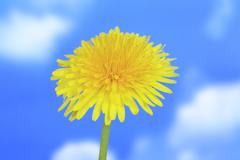 flower spring common dandelion asteraceae plant - stock photo