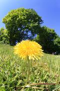 flower common dandelion asteraceae compositae s - stock photo