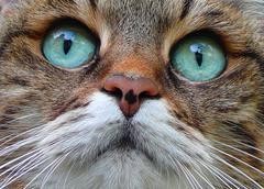 house cat felis silvestris catus domestic animal - stock photo