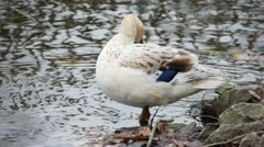 White Duck 02 Stock Footage