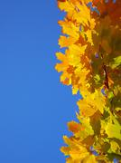 Tree acer norway maple angiosperm autumn colour Stock Photos