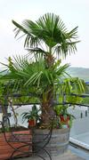 Flower tree fortunei hemp palm arecaceae palmae Stock Photos