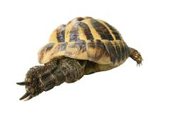 Testudo hermanni boettgeri hermanns tortoise Stock Photos