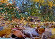 Stock Photo of autumnal leaves afflicted autumn colour colours