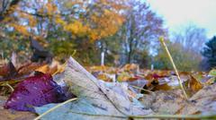 autumnal leaves afflicted autumn colour colours - stock photo