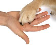 dog golden retriever symbol loyal animal animals - stock photo