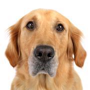 dog golden retriever loyal portrait headshot - stock photo