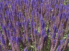 Flower salvia nemorosa wood sage bed beds botany Stock Photos