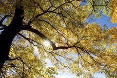 Tree deciduous in autumn austria horizontal Stock Photos